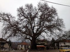 A tree dating from the 15th century in the village of Teovo Republic of Macedonia [850x645]