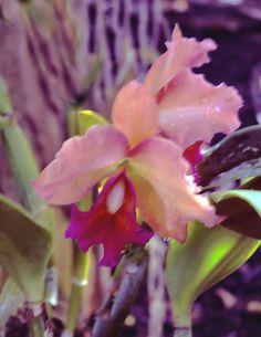 How To Keep Orchids Alive And Looking Gorgeous Unusual Flowers, Rare Flowers, Flowers Nature, Tropical Flowers, Beautiful Flowers, Fruit Plants, All Plants, Cattleya Orchid, Blue Orchids
