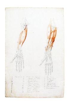 Estudio Anatomía antebrazo – Hóptimo