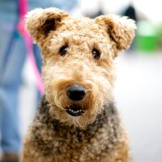 """I'm not a soft toy but the real thing!"" #Airedale"