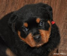 The Rottweiler Puppies Personality Big Dogs, Cute Dogs, German Rottweiler Puppies, Dog Treat Toys, Rottweiler Training, German Dog Breeds, Puppy Mix, Puppy Face