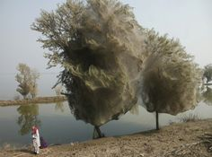 Thousands of Webby Treehouses Spun by Spiders Stave Off Malaria in Pakistan in Bizarre Side Effect from Floods.