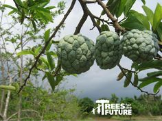 The Atis fruit, or as it is popularly called, the Custard Apple- in the Trees for the Future Philippines project site.