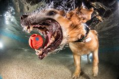 dogs catching balls under the water Under The Water, Underwater Dogs, Underwater Photos, Underwater Swimming, Underwater Photography, Funny Dog Pictures, Funny Photos, Dog Photos, Animals And Pets