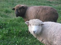 Romney Sheep, Lambs, Mobiles, Goats, Cute, Animals, Animales, Animaux, Mobile Phones