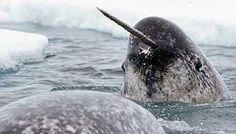 The narwhal (Monodon monoceros), a cetacean of 15 feet or more in length, has a surprisingly sensitive tusk ranging from six to 10 feet long