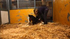 The Ontario Veterinary College is doing some pretty cool things on campus! Timelapse: Newborn Shire Foal's First 2 hours of Life in Under 30 Seconds Life Is Like, My Life, Veterinary Colleges, Green Lawn, 30 Seconds, Biology, Ontario, Pretty, Animals