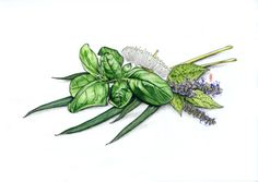 Basil, Peppermint and Eucalyptus in graphite and colored pencil by Robert Ciampa www.ciampa-illustration.com