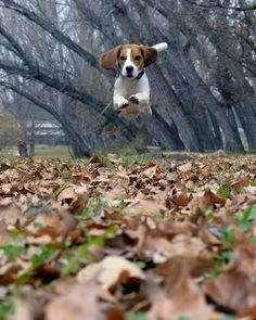 < last autumn jump > Beagle