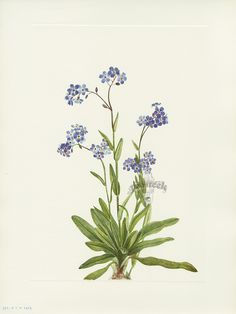 "Antique prints of ""Alpine Forget-Me-Not"" from Walcott North American Wild Flowers 1925"