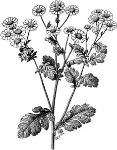 Image result for feverfew drawing black and white
