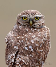 burrowing owl portrait by danny hancock on 500px