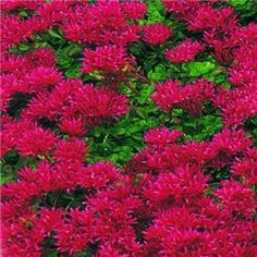 1000 Images About Ground Cover On Pinterest Creeping