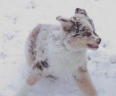 Snow puppy, Aussie (Tori) Australian Shepherds, Aussies, Mans Best Friend, Puppy Love, Doggies, Husky, Corgi, Snow, Animals