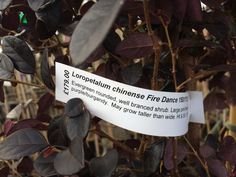 loropetalum chinese fire dance
