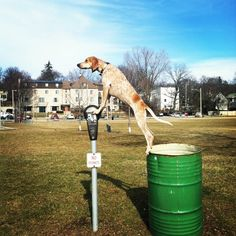 """Maddie on Things"", this coonhound is amazing on how she can balance on anything she is placed on~looking forward to getting her book of travels!"
