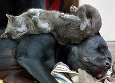 cani e gatti - cute-cats-sleeping-on-dogs-2__605