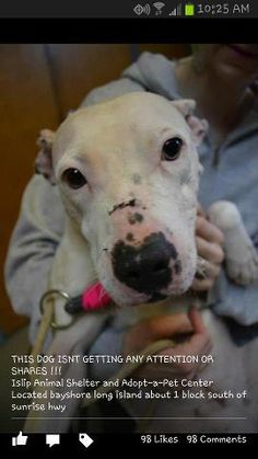 Islip Animal Shelter. Bayshore, NY. Her name is Snow White! Come Rescue Her!!  5/15/13--Look at this SWEET GIRL!! Fathomless depths of LOVE in her eyes! This amazing Girl has been through HELL, pain, and abuse, but that love in her eyes is yet un-dimmed. Save her precious life, adopt her, in doing so your own life will become richer for the LOVE OF A DOG!!