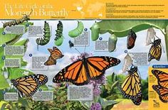 Monarch Watch - The Life Cycle of the Monarch Butterfly Poster II
