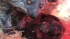 Perth Zoo's newborn arrivals: Baby Asian bear-cats or Binturongs. These two Binturongs were born in September and have just started venturing out of the nest box and trying new foods.  The babies' mum Selasa and father Rabu arrived from Singapore Zoological Gardens in 2016 for the purpose of establishing a Perth Zoo family.