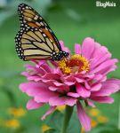 Monarch_Butterfly_