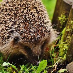 Ein Igelhaus im Garten ist gut zum Überwintern geeignet. Animals, Animales, Animaux, Animal, Animais