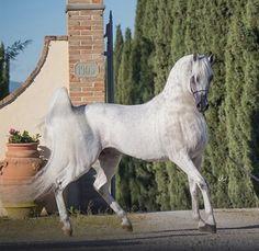 Beautiful Arabian Horses, Majestic Horse, Most Beautiful Animals, Beautiful Creatures, Equine Photography, Animal Photography, Arabian Beauty, All The Pretty Horses, White Horses