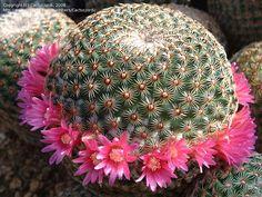 Mammilaria huitzilopochtli