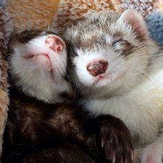 Ferret Snuggles by ackey_73
