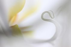 The heart of a white orchid that looks like a swan. This photo has won the 2nd prize in the photo of the month January 2013 contest Roots Magazine NL