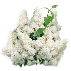Lilak pospolity - Syringa vulgaris 'Mme Lemoine'