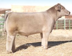 SEK Genetics - Alias, $20.00   HERE IS BULL THAT SHOULD BE REMOVED FROM EVERYONE'S LINE UP! STRUCTURE ISSUES... :(