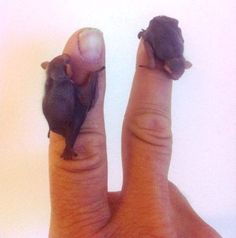 Itty bitty teeny bats!
