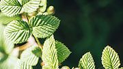 Wildflower identification challenge - Mora silvestre, Fotos de Guatemala