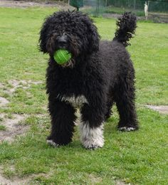 Spanish Water Dog photo | Dylan - Bellmoria Spanish Water Dogs Ria, Dylan & Peppi
