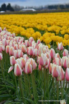 Tulip Town in Seattle, WA  #ridecolorfully