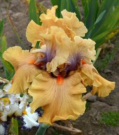 Keppel sdlg 09-69D.    Want This!      A blog about the iris world for all iris lovers.