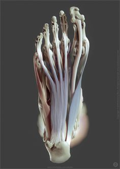 Ankle Anatomy, Foot Anatomy, Human Anatomy Drawing, Human Body Anatomy, Muscle Anatomy, Anatomy Images, Anatomy Sculpture, Anatomy Sketches, Anatomy For Artists