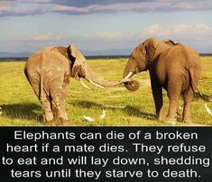Elephants can die of a broken heart if a mate dies. They refuse to eat and will lay down, shedding tears until they starve to death. | And humans are so hateful and mean to elephants that it hurts my heart just to think of the grief we cause ~