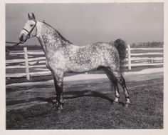Grey Mac Lee Rose McDonald X Sybil Burns by Rexall Prince by Rex Peavine foaled in 1932 owned by Ottawa Creek Farm