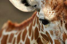 Giraffes (Giraffa camelopardalis) use their long necks to fight. True story.