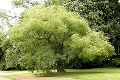 Pagoda Tree - lovely! Sophora japonica