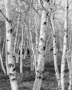 Birch Trees black and white 8x10 photo print  nature by MFphotoart, $22.00