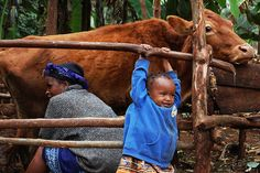 Vaccine developed by KARI, supported by ILRI, is 'milestone in control of Africa's livestock diseases' Mom Milk, Livestock, Cattle, Cow, Africa, Product Launch, Faith, Animals, Pictures