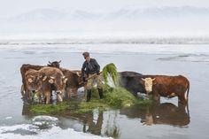 ÇALDIRAN,VAN  Hava sıcaklığının sıfırın altında 30 dereceye kadar düştüğü Van'ın Çaldıran ilçesine bağlı Kalkandelen köyündeki besiciler, kendi imkanlarıyla yaptıkları sallarla açıldıkları Kaz Gölü'nden hayvanlarına yem olarak verebilmek için bitki çıkarıyor