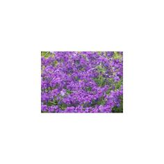 stock.xchng - Violets (photo by mjjenkins) ❤ liked on Polyvore
