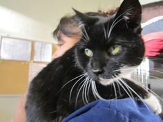 Available for adoption - Franchesca is a female cat, Domestic Short Hair, located at Santa Paula Animal Rescue Center in Santa Paula, CA.