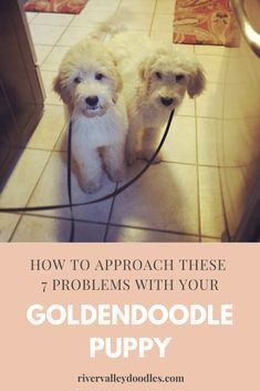 You may experience puppy problems when you dog becomes stubborn when it comes to obeying simple commands. Here are 7 Common Puppy problems and 2 ways to prevent them. Goldendoodle Training, Goldendoodle Grooming, Mini Goldendoodle Puppies, Goldendoodle Names, Puppy Training Schedule, Training Your Puppy, Puppy Leash Training, Cute Puppies, Cute Dogs