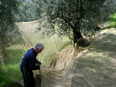Olive harvest at the Sommaia estate, Calenzano, Firenze, Italy [Photo: Enrico Ponzone]