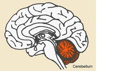 Studies Implicate Early Injury to Cerebellum as Major Cause of Autism   Science News   Autism Speaks